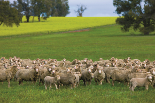 MLA and AWI wool and sheepmeat survey image