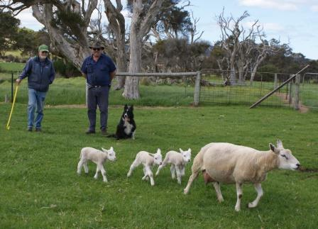 Another Texel/SAMM Win For Albany Breeder